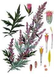 Artemisia_vulgaris_-_Köhler–s_Medizinal-Pflanzen-016